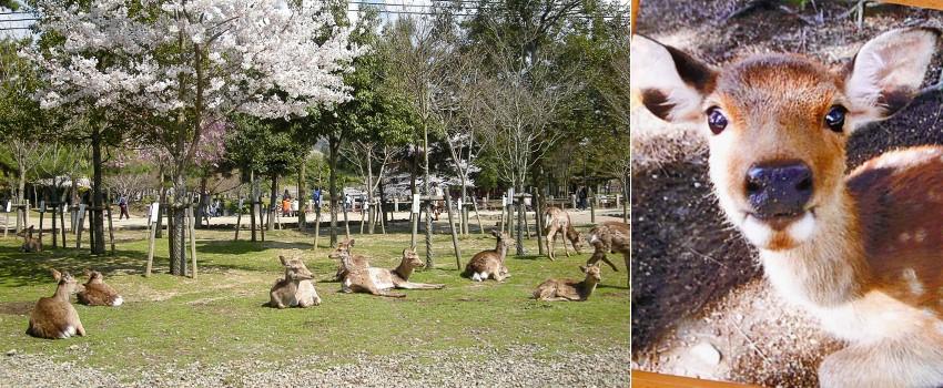 나라 사슴공원-850.jpg
